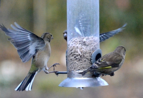 chaffinches and greenfinch
