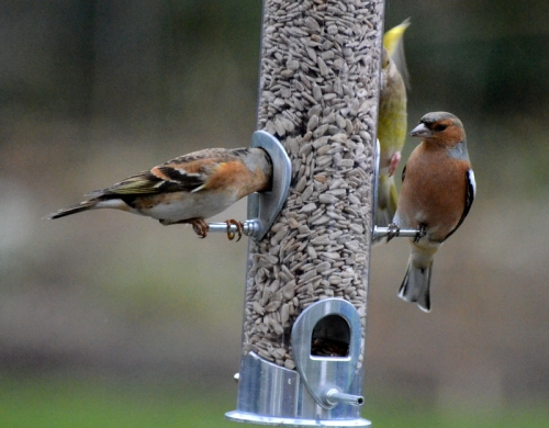 new feeder with brambling