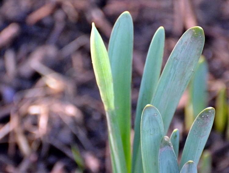 January 1 daffodil
