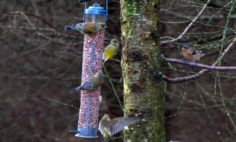 MF greenfinches