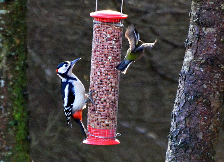 MF woodpecker chaffinch