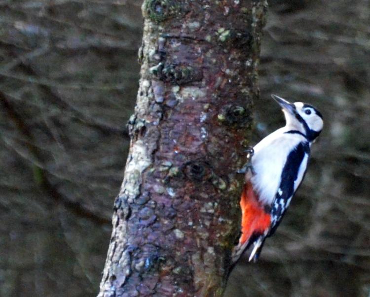 MF woodpecker on wood