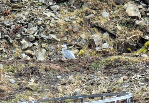heron among stones