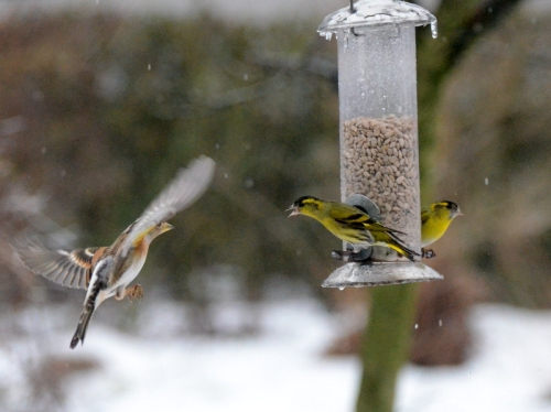 Siskins hold their own