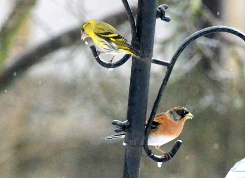Siskin and brambling