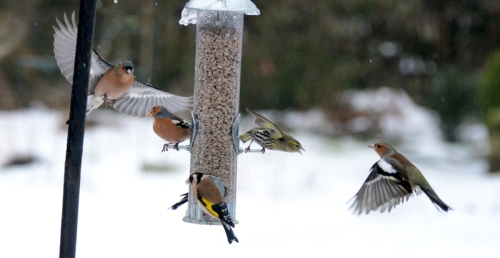chaffinches waiting