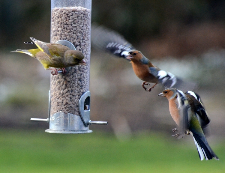 a greenfinch holds chaffinches at bay