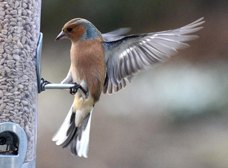 chaffinch landing