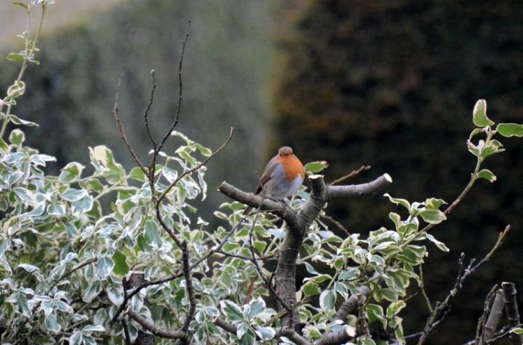 plump robin