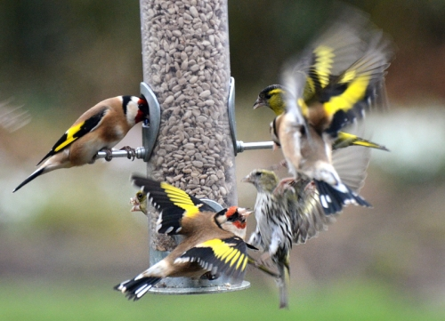 goldfinch melee