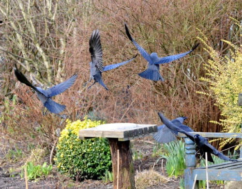 jackdaw flight