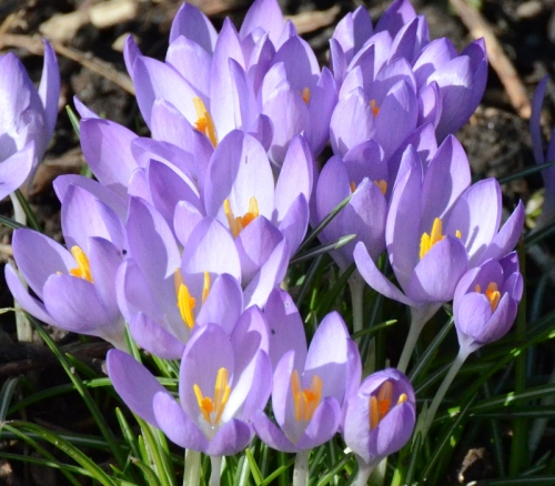 blue crocuses