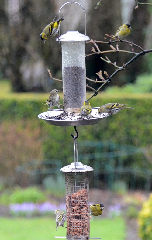 column of siskins