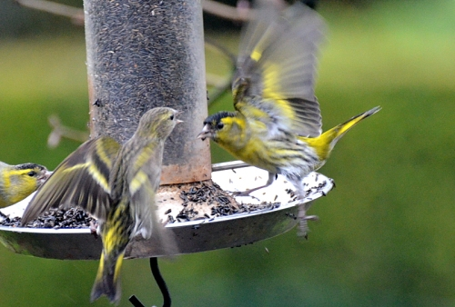 siskins scrapping