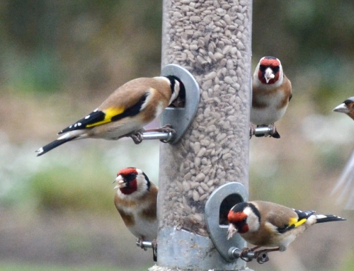 four goldfinches