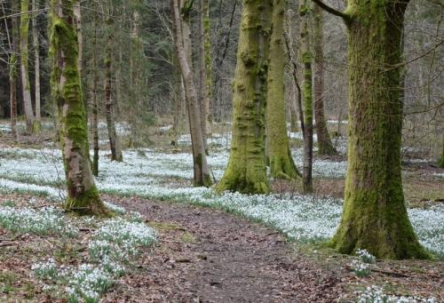 snowdrops at Holmhead