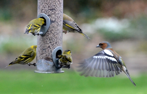 siskins, greenfinch and chaffinch
