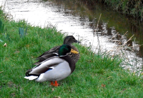 Damside ducks