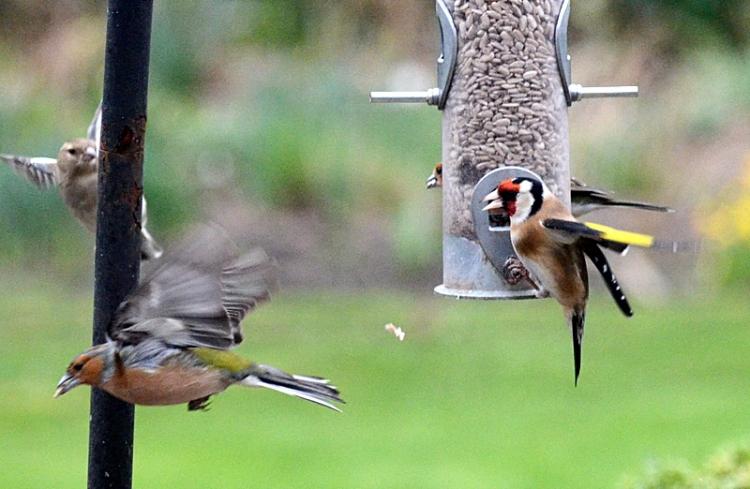 goldfinch chaffinch