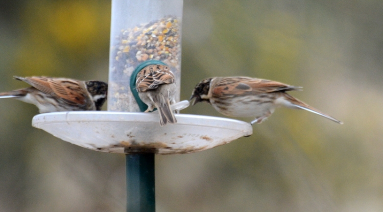 two reed buntings on a feeder