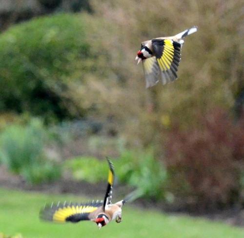 goldfinch aerobatics