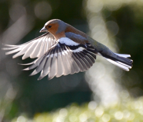 chaffinch in the afternoon