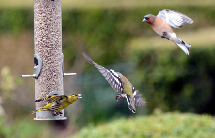 shouting at chaffinches