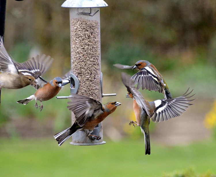 chaffinch action