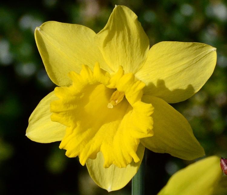 golden daffodil