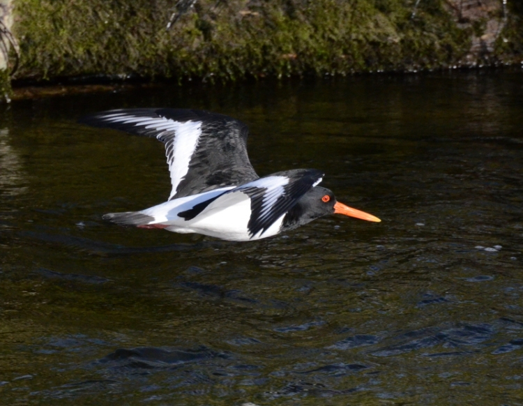 Oyster catcher on the river