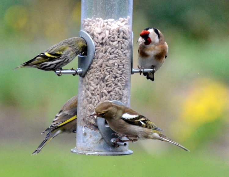 green, gold, chaff and siskin finches