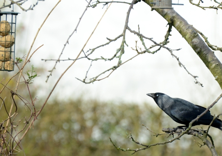 hopeful jackdaw