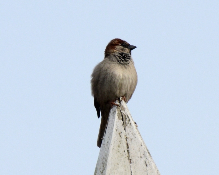 roof top sparrow