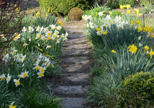 back path daffodils