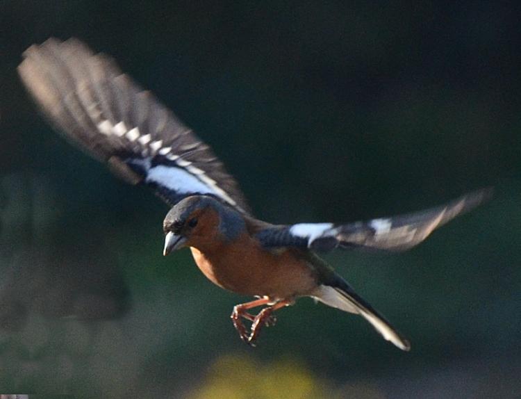 evening chaffinch flying
