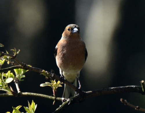 A male chaffinch