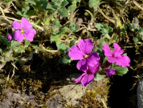 pink aubretia