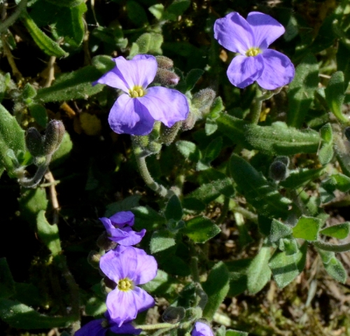blue aubretias