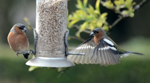 two chaffinches