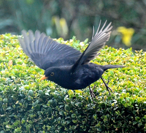 blackbird flying