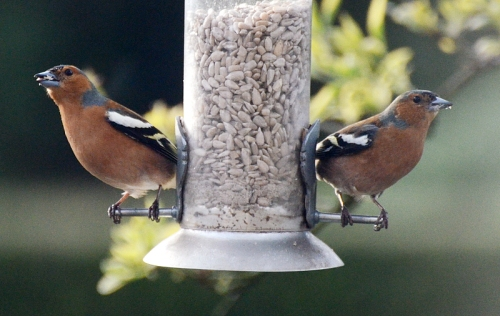 chaffinch bookends