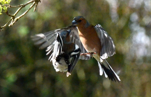 chaffinches in flight