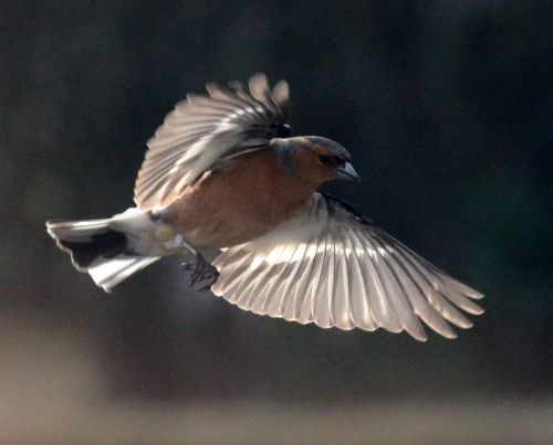 chaffinch flying