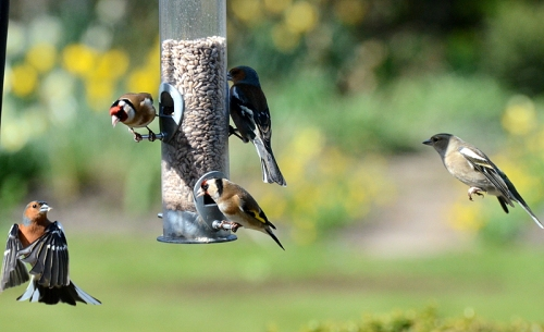 five mixed finches