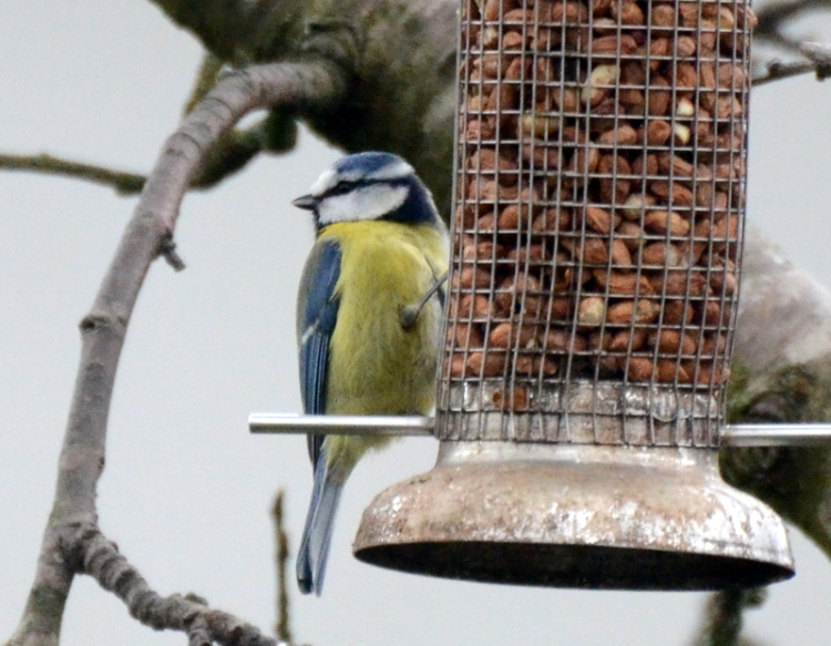 blue tit with a face
