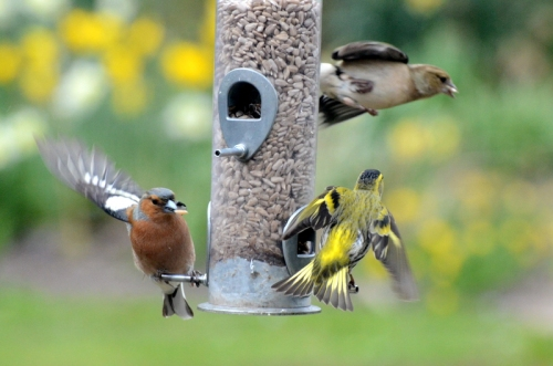 aggressive siskin with chaffinches