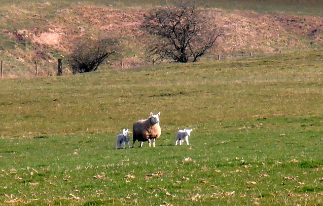 sheep with twin lambs