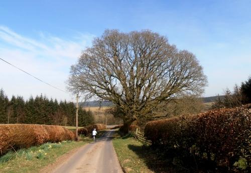Old Irvine tree