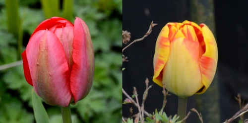 potential tulips