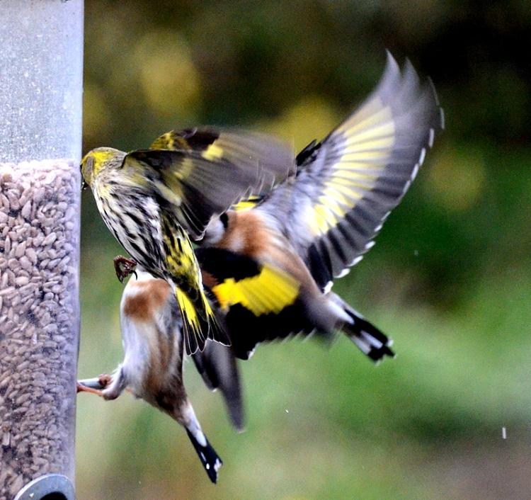 goldfinch and siskin sandwich